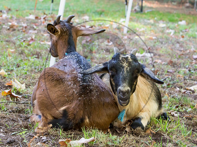 Goats-223