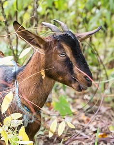 Goats-100