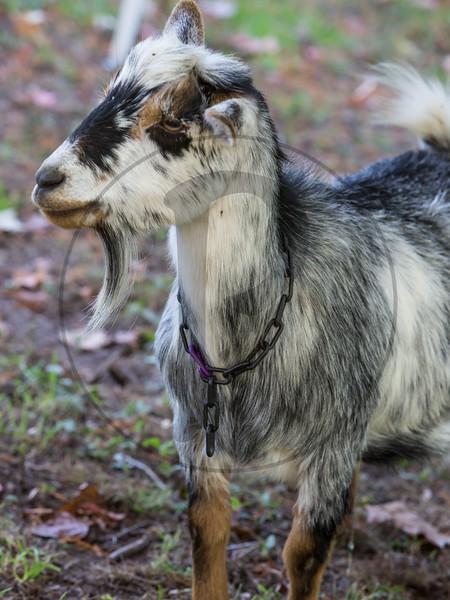 Goats-198