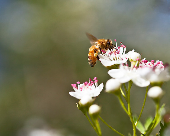 HONEY BEE ON TREE BLOSSOM