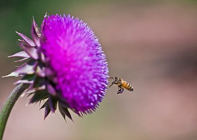 HONEY BEE AND PURPLE THISTLE