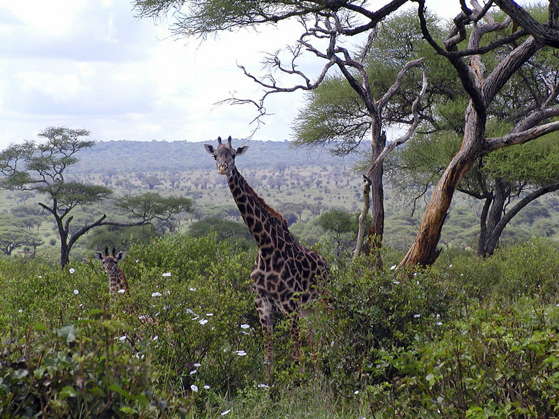 Giraffe Mother & Baby