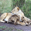 Lioness & Her Cubs