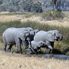 Elephant Family Moving Quickly