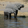 Elephant Baby and Mother in Chobe River