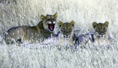 Smiling Lion Cubs