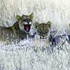 Smiling Lion Cubs