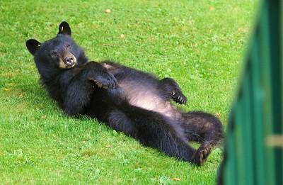 Back Yard Bears