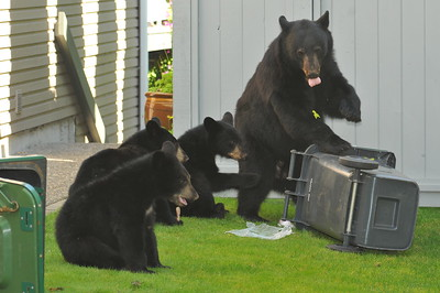 Back Yard Bears