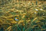 Barley and Daisies   Poetic Dreamy Field of Wheat and Flowers in the Dutch Countryside Po�tische Fotografie van een Boeren Landschap Tarwe en Kamille in een Rustiek Nederlands Brabants Kore ...