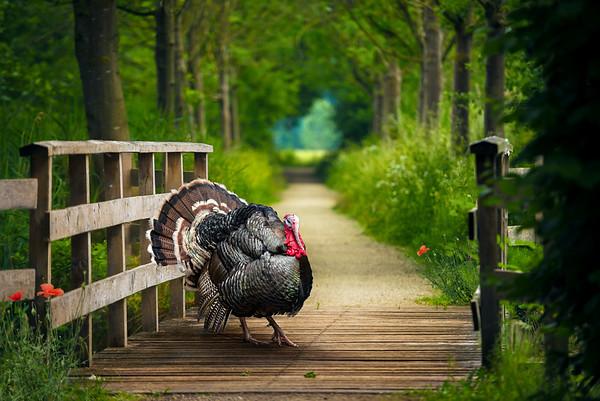 Ballad of a Turkey