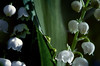 Pearls in the Valley - Lelietjes van Dalen | Meiklokjes in de Maashorst | Lily of the Valley Art Photo