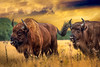Primal Powers | Wisent Europese Bizon European Wood Bison Wild Wildlife Maashorst Strong Powerful Bull and Bison Cow Return and Revival of once almost Extinct Species
