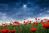 Grand Bells Symphony | Red Poppies on a Hill Sunbeam Rays Music in the Air Natuur Maashorst Uden Nistelrode Natuurfotografie Fotograaf
