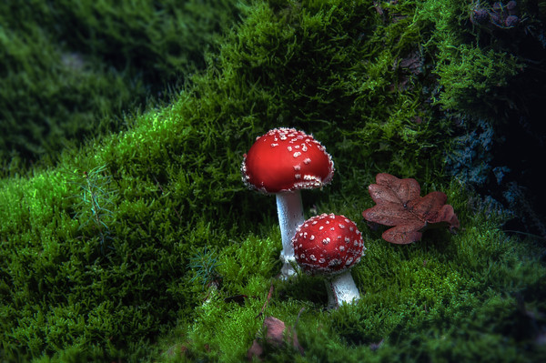 Autumn Glamour | You Are My Favorite Color Two Beautiful Red and White Fly Agaric Amanita Vliegenzwam Mushrooms in a Christmas Winter Herfstbos Setting with Fallen Leaves and Green Moss on the Forest Floor Wonderful Gift Card Wallpaper Book Cover or Art Print