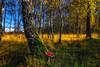 Once Upon an Autumn Day | Herfstbos met vliegenzwam en Witte Berken.