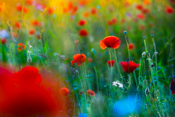A Palette of Flowers | Beautiful Field of Poppies and other Colourful Flowers Similar Reminds Reminding of Impressionist Impressionism Colorful Dreamy Romantic Dots Spring Time New Life Paintings Bloemenweide Klaprozenveld Klaproos Kleurrijk Fotografie Natuur Beeld Kunst van het Fotograferen Fine Art Prints for Sale Purchase Buy Online Nature Photography for Decoration Home and Inspiration