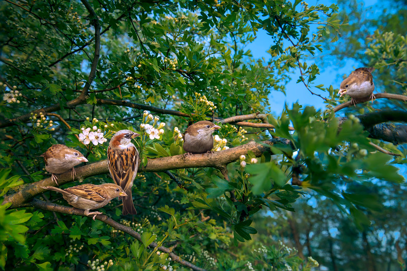 Sparrow Folklore
