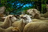 Loving Sheep | Herd of Sheep Together Eating Green Leaves
