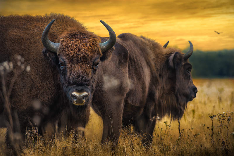 Beauty is a Beast | Wisent European Bison Return Revival Netherlands Maashorst Art Print for Sale Free Wallpapers Nature Wildlife Photographer Bull Stier Hoorns Beautiful Animal Horns