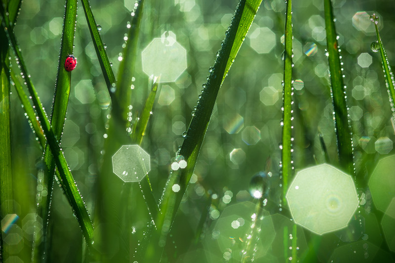 Glamourland | Ladybug Ladybird in Fresh Green New Spring Grass with Dewdrops in Early Morning Sunrise Beautiful Dew Drops Greenery Artistic Imagery Fine Art Photography