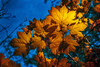 Golden Autumn Glow | Color Contrast Yellow Blue Gold Leaves Leaf