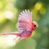 Cardinal Performing a Swan Dive