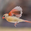 A Female Northern Cardinal in Flight