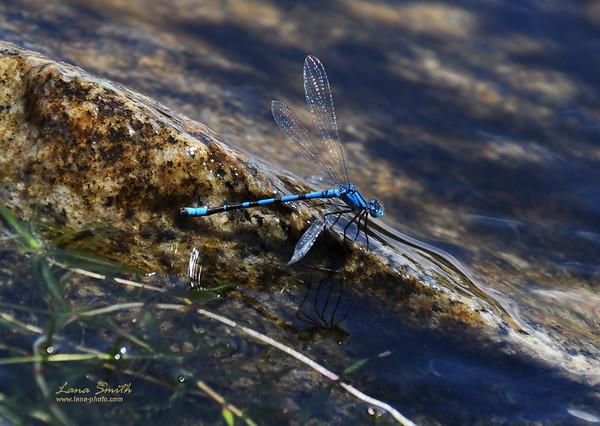 Dragonfly at Granby Lake, Colorado sig
