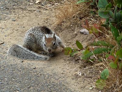 Squirrel 1 sig