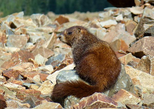 Marmot on Ophir Pass, Colorado sig