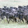Wildebeests Migrating