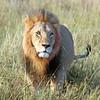 Lion with Sad Eyes