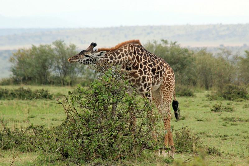 Giraffe Scratching His Neck