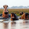 Roaring Hippos