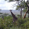 Giraffe Mother & Baby