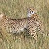 Cheetahs Standing Guarding
