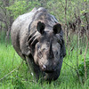 Charging Rhinoceros