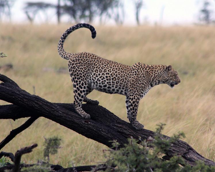 Leopard on a Fallen Tree