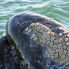 Barnacles on a Gray Whale