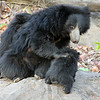 Sloth Bear Caring for Her Cubs