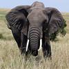 Elephant Charging