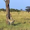 Cheetah Sharpening Her Claws