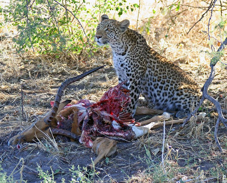 Leopard Sitting By Impala Kill