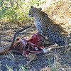 Leopard Sitting By Impala Kill