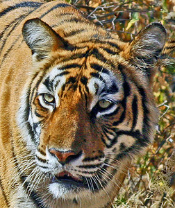 Stalking Tigress Face