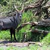 Antelope - African