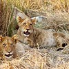 Lion Cub Pals