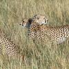 Cheetahs Surveying Their Territory