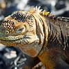 Yellow Land Iguana